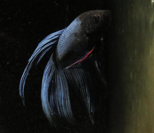 Bojownik syjamski - samiec odmiany długopłetwej, weloniastej