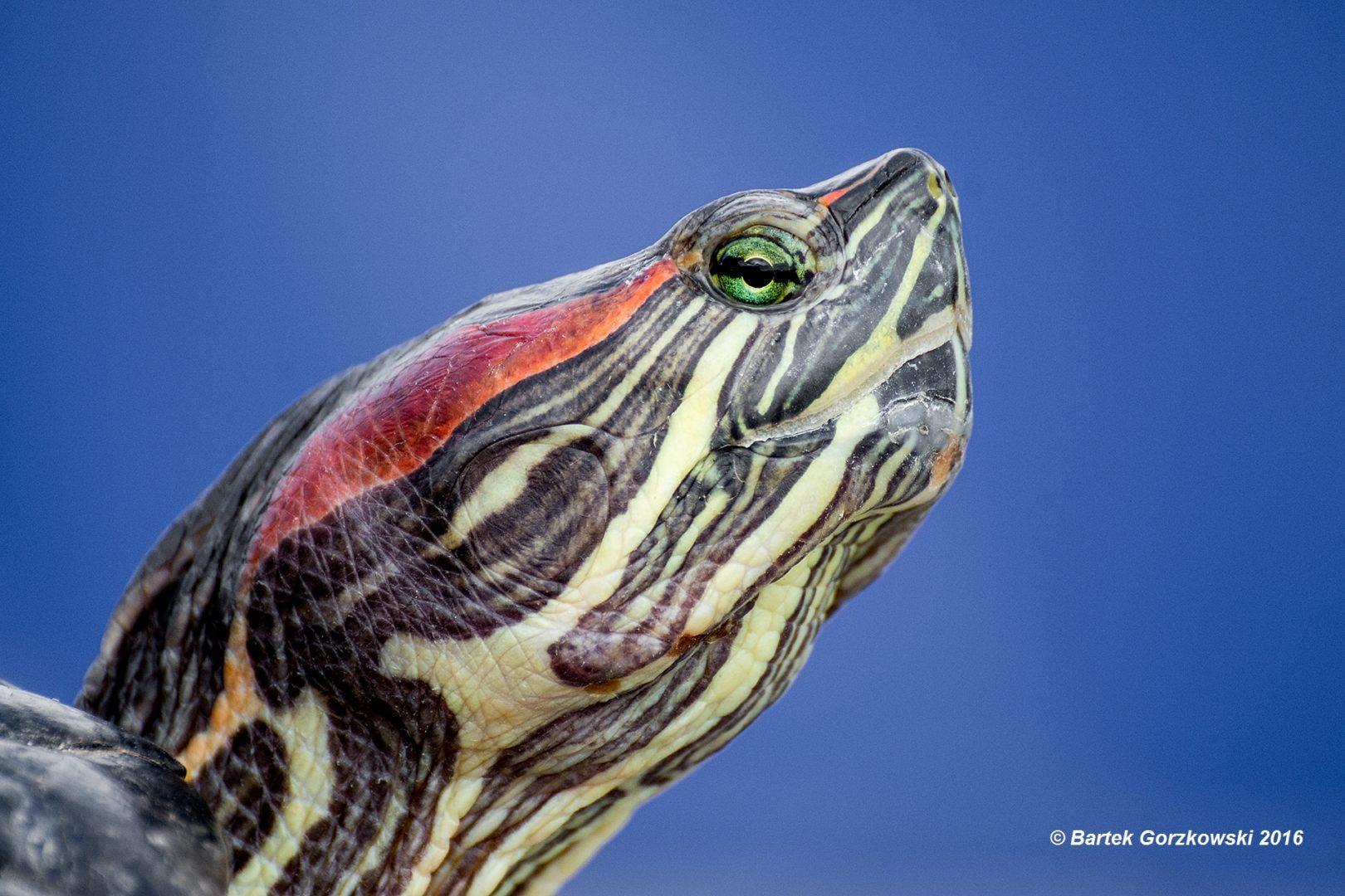 Żółw czerwonolicy (Trachemys scripta elegans) jest przedstawicielem żółwi wodno-lądowych
