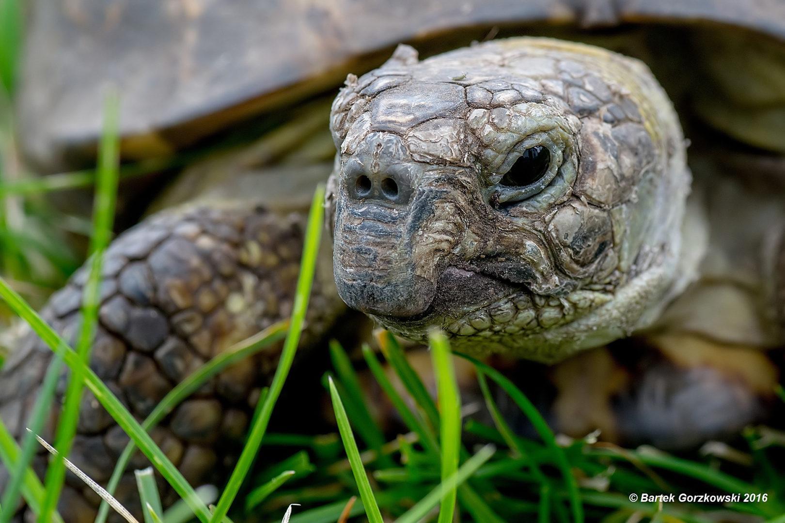Żółw stepowy (Testudo horsfieldii)