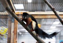 Wiewiórka (wiewiórczak) trójbarwna