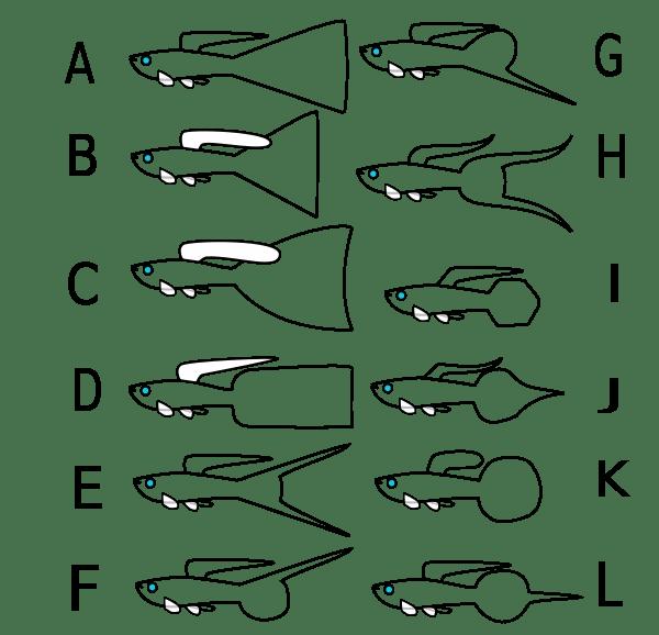 Standardy hodowlane gupika