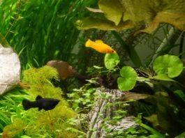 Molinezja czarna - samiczka, molinezja złota - samczyk