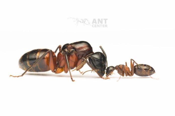 Camponotus ligniperda- największa mrówka Europy