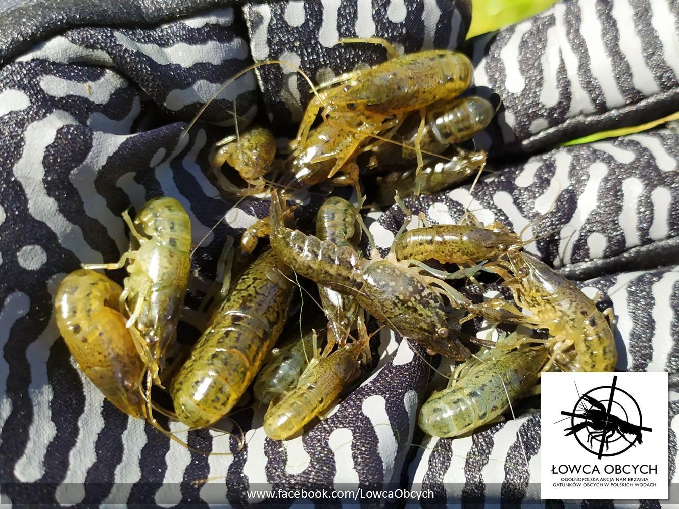 Rak marmurkowy (Procambarus virginalis) – młode osobniki odłowione z jednego z miejskich zbiorników wodnych, gdzie występuje populacja licząca dziesiątki tysięcy raków. Fot. R. Maciaszek