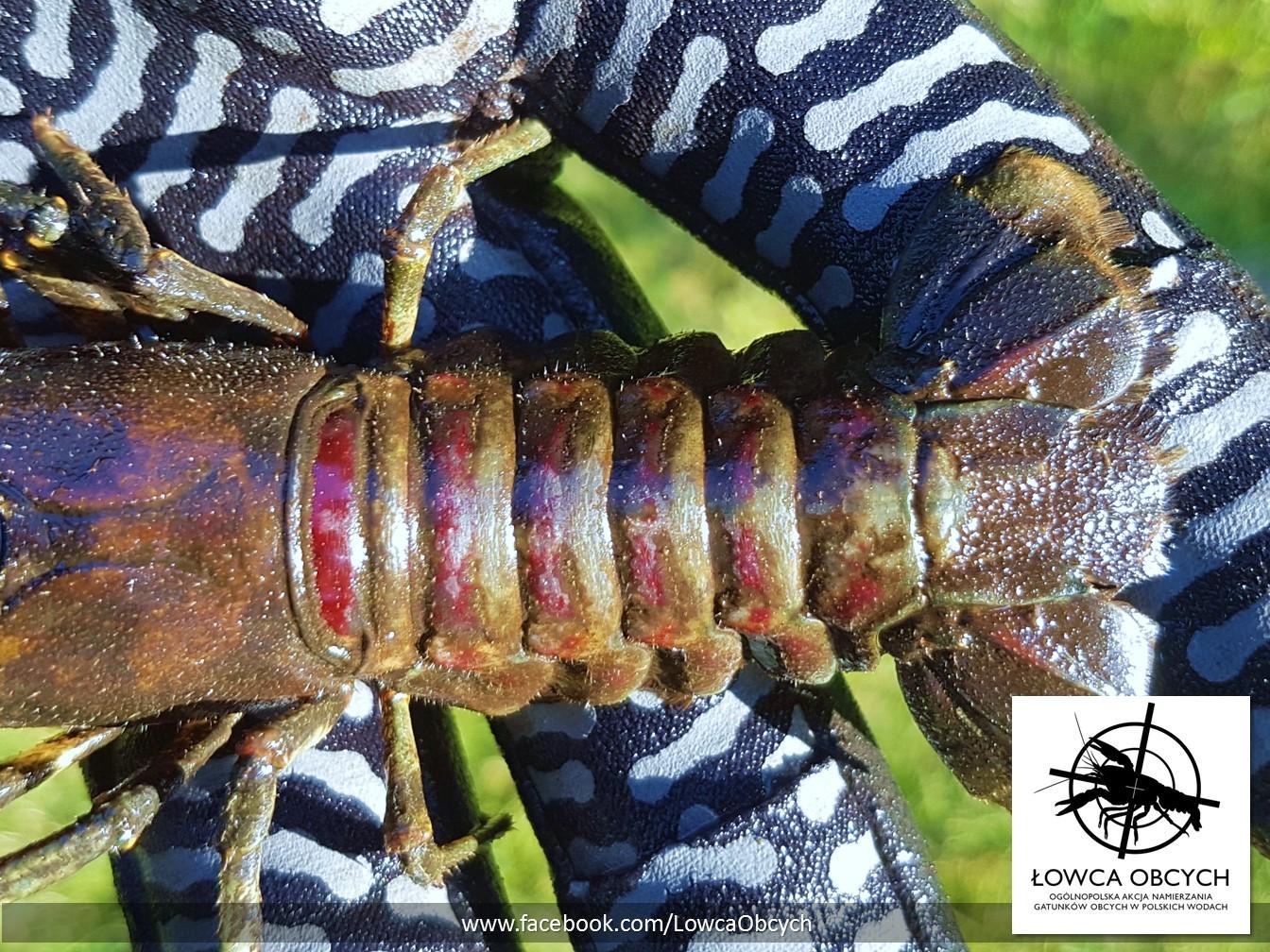 Rak pręgowaty (Faxonius limosus) – charakterystyczne wiśniowe pasy na odwłoku. Fot. R. Maciaszek