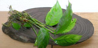 Anubias heterophylla / fot. S.Tanaka