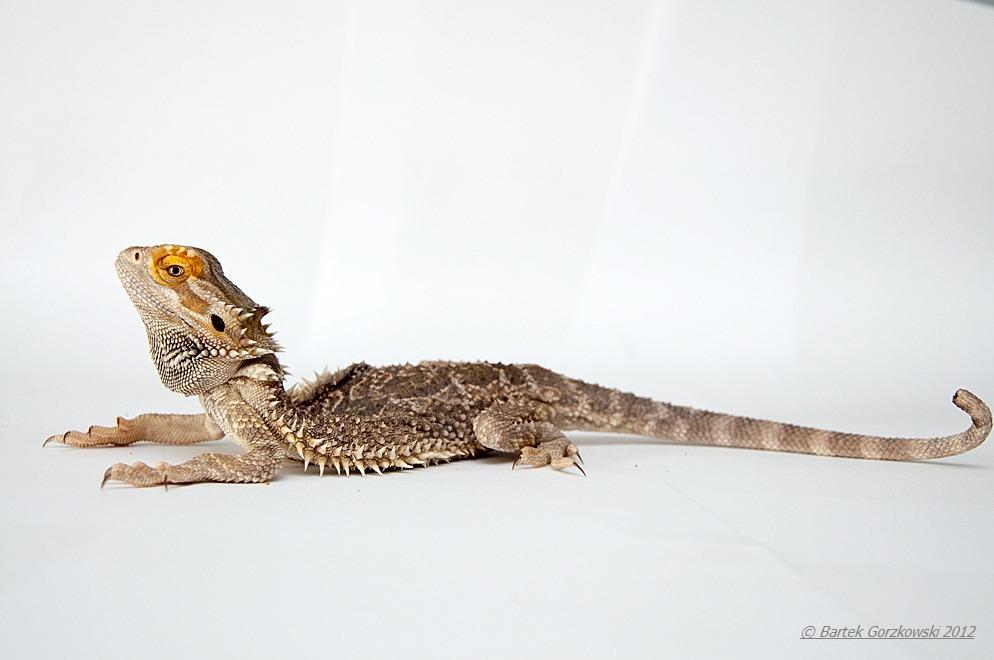 Agama brodata w stanie zaawansowanej krzywicy